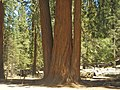 Sequoia P4250891.jpg