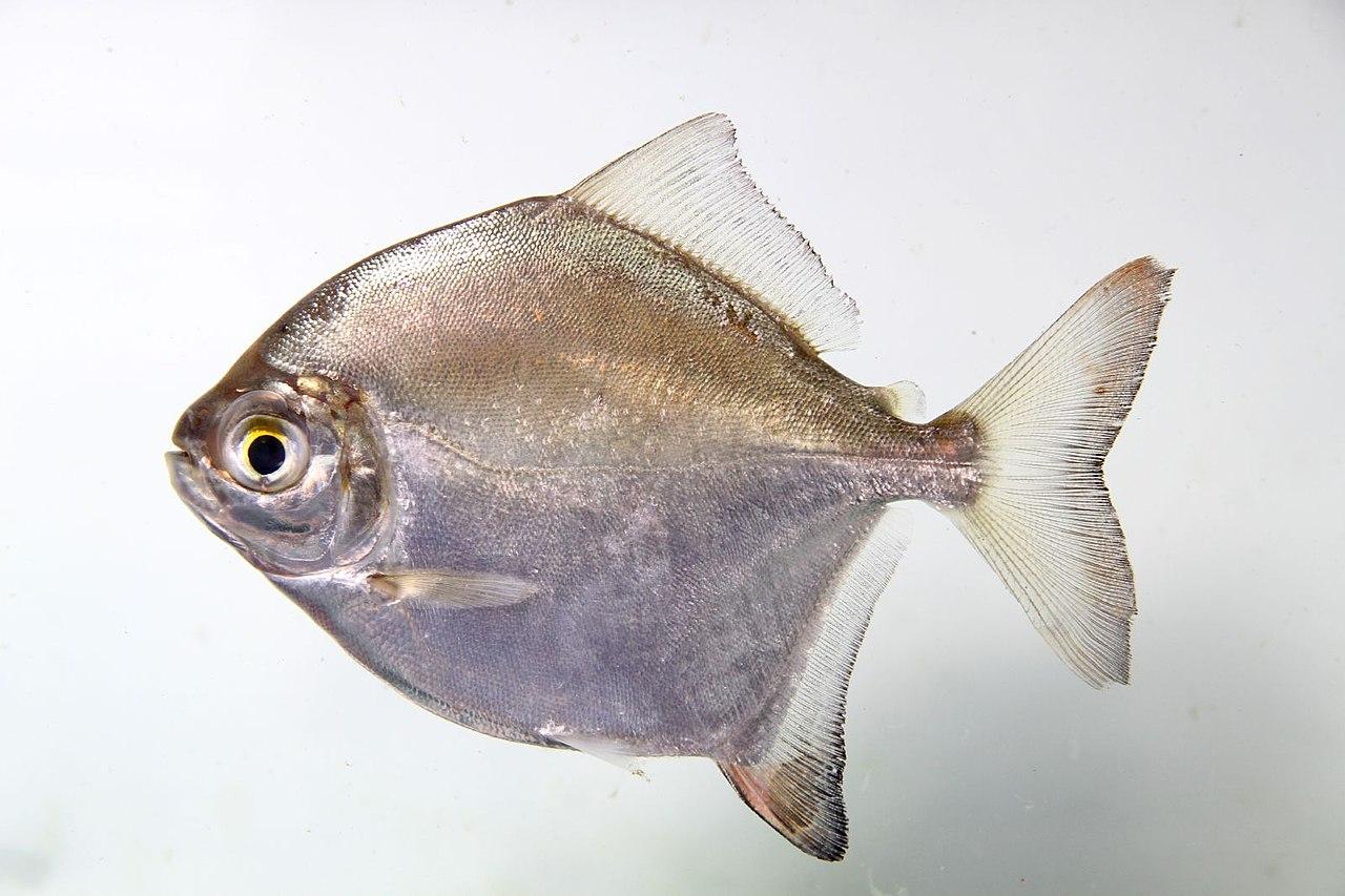 Serrasalmidae Myleus cf rubripinnis (5807048424).jpg