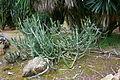 Ses Salines - Botanicactus - Euphorbia ledienii 01 ies.jpg