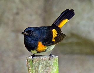 American redstart species of bird