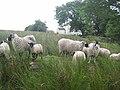 Sheep at Moscow Farm - geograph.org.uk - 886525.jpg