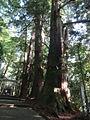 Shirayamahime-境内-表参道-御神木の老杉.JPG