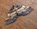 Shoulder Stripe. Anticlea badiata. Geometridae - Flickr - gailhampshire.jpg
