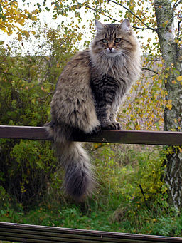 Siberian cat in summercoat
