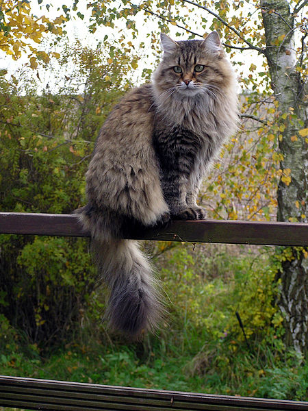 Fichier:Siberian cat in summercoat.JPG