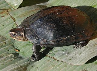 Black marsh turtle species of reptile