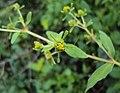 Sigesbeckia orientalis 02.JPG