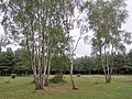 Silver birch on Copythorne Common - geograph.org.uk - 207628.jpg