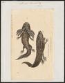 Siredon humboldtii - 1700-1880 - Print - Iconographia Zoologica - Special Collections University of Amsterdam - UBA01 IZ11400151.tif