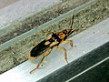 Sirthenea flavipes on the door of Convenience stores - 2.jpg