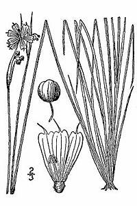Sisyrinchium-mucronatum.jpg
