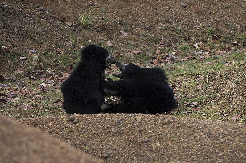 File:Sloth bears playing.jpg