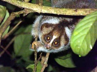 <i>Nycticebus kayan</i> Species of primate