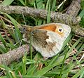 Small Heath - Flickr - gailhampshire (1).jpg