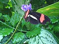 Small Postman butterfly at the Niagara Parks Butterfly Conservatory, 2010 B.jpg