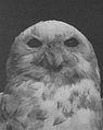 Snowy owl 1914.jpg