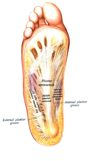 Abductor hallucis muscle - Image: Sobo 1909 309