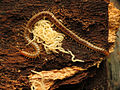 Soil Centipede Mother With Offspring (22684845147).jpg