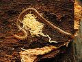 Soil Centipede Mother With Offspring (22684845147).jpg