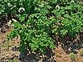 Solanum tuberosum 001.JPG