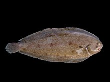 photograph of a whole, flat fish