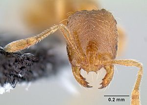 English: Head view of ant Solenopsis molesta s...