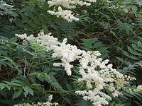 SorbariaSorbifolia