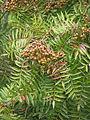 Sorbus sp (21399381181).jpg