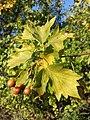 Sorbus torminalis sl19.jpg