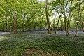 Sous-bois de jacinthes - img 29304.jpg