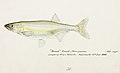 Southern Pacific fishes illustrations by F.E. Clarke 102.jpg