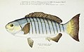 Southern Pacific fishes illustrations by F.E. Clarke 103.jpg