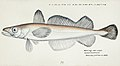 Southern Pacific fishes illustrations by F.E. Clarke 59.jpg