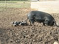 Sow and piglets at Brington, Cambridgeshire - geograph.org.uk - 728341.jpg