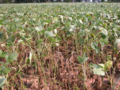 Soybean Stem Canker 2.png