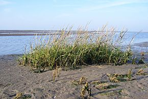 Description de l'image Spartina_anglica.jpg.