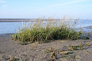 Charles Edward Hubbard - The maritime grass Spartina anglica was first validly described by C. E. Hubbard in 1978.