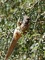 Speckled Mousebird (Colius striatus) (32400018882).jpg
