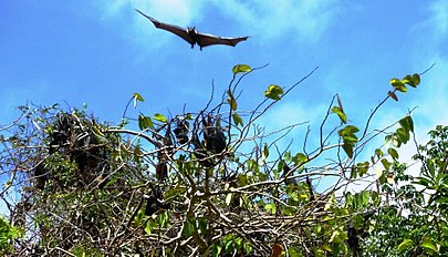 Spectacled Flying Foxes, Cooktown.jpg