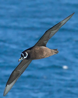 Spectacled petrel species of bird
