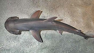 Bonnethead - Dorsal view showing the pectoral fins