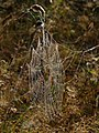 Spider's web, Bourne - geograph.org.uk - 555766.jpg