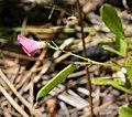Spiked Hoarypea ( Tephrosia spicata) (38029150245).jpg