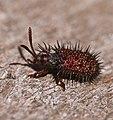 Spiny Leaf Beetle (Dicladispa sp.) (32621496641).jpg