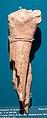 Spoke-bone of a moose from the Roman period.jpg
