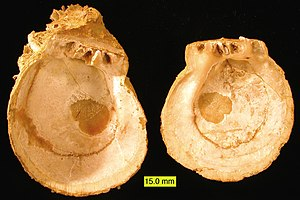 Spondulix - The interior of two fossil valves of Spondylus from the Pliocene of Cyprus.