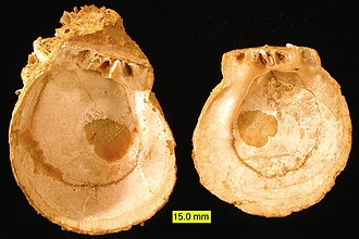 "Bivalve shell - Paired valves of a fossil Spondylus shell (a ""thorny oyster"") showing the isodont, monomyarian, inequivalved condition, from the Pliocene deposits of Cyprus"
