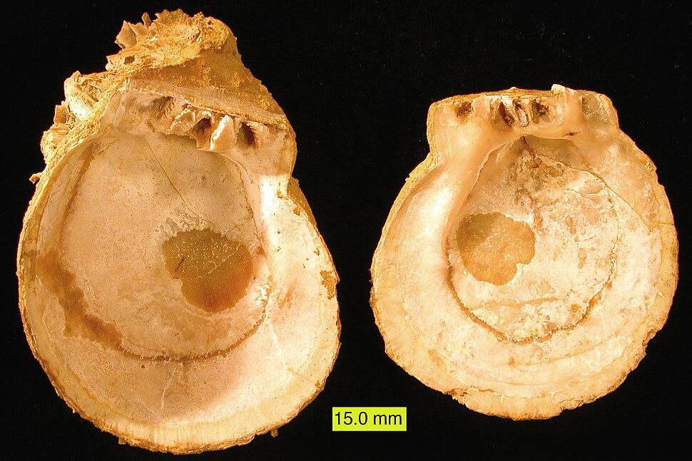 SpondylusPliocene