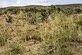 Sporobolus airoides - Flickr - aspidoscelis (5).jpg