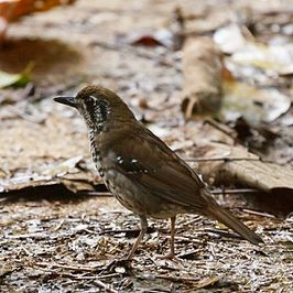 Spot-winged Thrush (5320522326).jpg